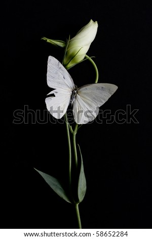 white butterfly on white bud isolated on black background - stock photo