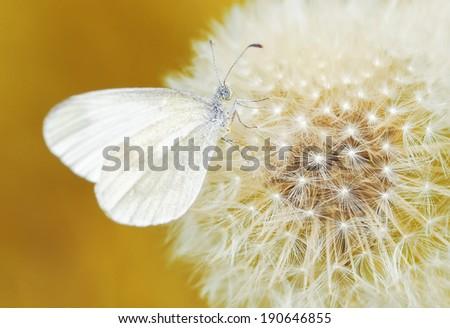White butterfly on white dandelion - stock photo