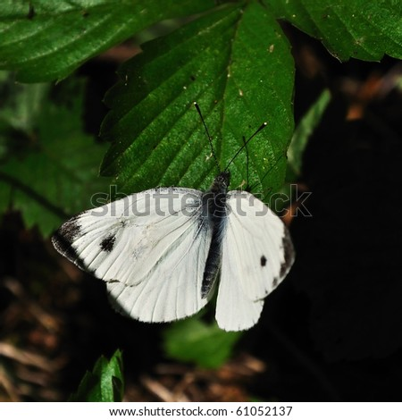 White Butterfly - Pieris brassicae - stock photo