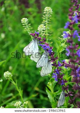 white bytterflies,  Aporia crataegi - stock photo
