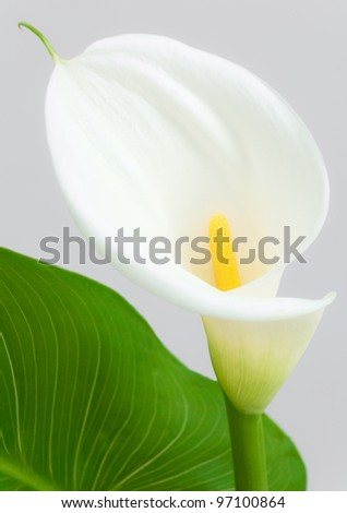 White Cala Lily and Leaf on a Neutral Grey Background - stock photo