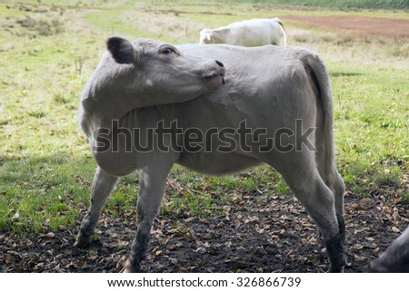 White calf in an autumn field scratches himself - stock photo