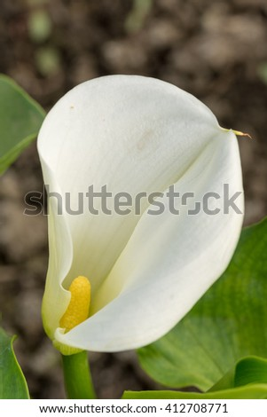White calla flower in the greenhouse. - stock photo