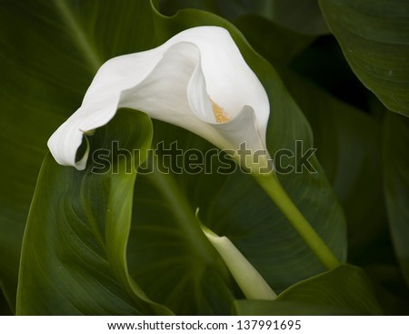 White Calla flower with green leaves on the background. - stock photo