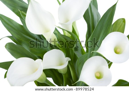 White Calla isolated in front of white background
