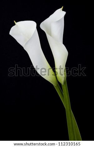 White calla lilies, over black background - stock photo
