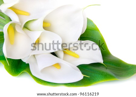 white Calla lilies with big green leaf isolated on a white background - stock photo