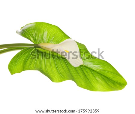White Calla lilies with leaf isolated on a white background - stock photo