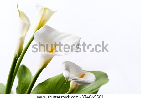 White calla lily flowers in front of white background - stock photo
