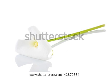 white  calla lily  isolated close up