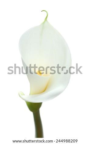 white calla lily isolated on white background - stock photo