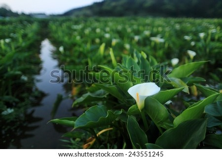 White Calla Lily plant in full bloom inside a large garden - stock photo