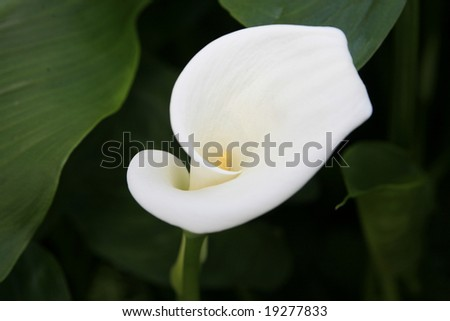 White Calla Lily with green leaves partially bloomed.