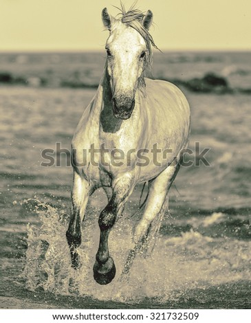 White Camargue Horse galloping along the beach in Parc Regional de Camargue - Provence, France (stylized retro) - stock photo