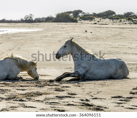 White Camargue Horse in Parc Regional de Camargue - Provence, France - stock photo