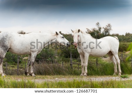 White Camargue horse shows tongue - stock photo