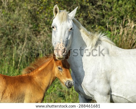 White Camargue Horse with foal stand in the swamps nature reserve in Parc Regional de Camargue - Provence, France