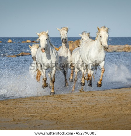 White Camargue Horses galloping along the beach in Parc Regional de Camargue in the sunny day - Provence, France. - stock photo