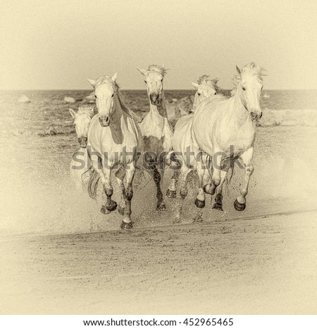 White Camargue Horses galloping along the beach in Parc Regional de Camargue in the sunny day - Provence, France (stylized retro) - stock photo
