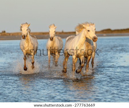 White Camargue Horses galloping along the beach in Parc Regional de Camargue in the sunset - Provence, France  - stock photo