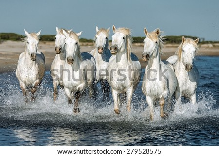 White Camargue Horses galloping along the beach in Parc Regional de Camargue - Provence, France - stock photo