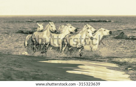 White Camargue Horses galloping along the beach in Parc Regional de Camargue - Provence, France (stylized retro) - stock photo