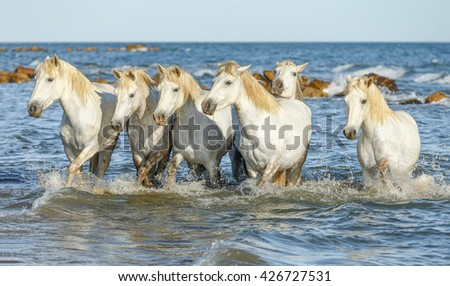 White Camargue Horses galloping along the beach in the Parc Regional de Camargue - Provence, France - stock photo