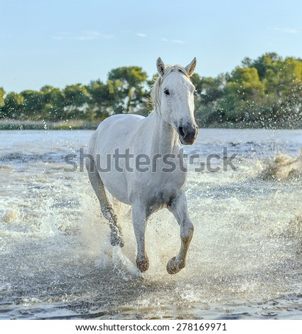 White Camargue Horses galloping in the Parc Regional de Camargue - Provence, France - stock photo