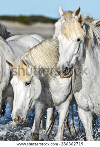 White Camargue Horses on the beach in Parc Regional de Camargue - Provence, France - stock photo