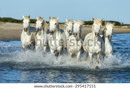 White Camargue Horses Running On Beach Stock Photo ...