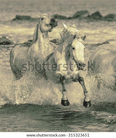 White Camargue Horses running on the beach in Parc Regional de Camargue - Provence, France (stylized retro) - stock photo