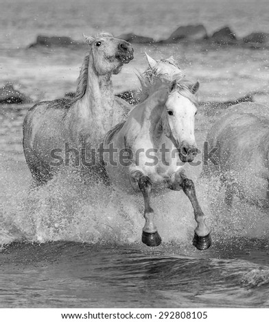 White Camargue Horses running on the beach in Parc Regional de Camargue - Provence, France (black and white) - stock photo