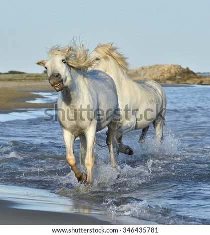 White Camargue Horses running on the blue water in sunset light. Parc Regional de Camargue - Provence, France - stock photo
