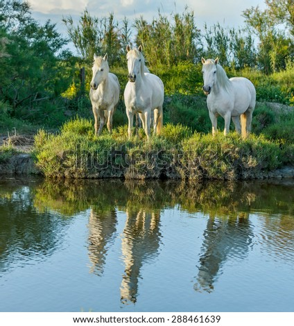White Camargue Horses standing in the swamps nature reserve in Parc Regional de Camargue - Provence, France - stock photo