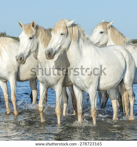 White Camargue Horses standing on the beach in Parc Regional de Camargue - Provence, France - stock photo