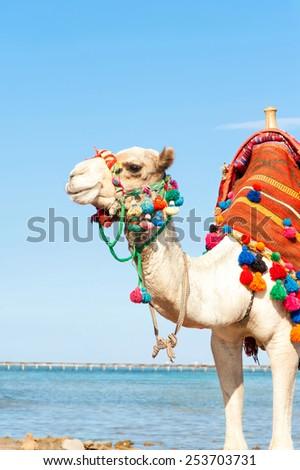 White camel standing on the Egyptian beach. Camelus dromedarius. Summertime outdoors. - stock photo