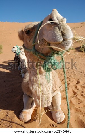 White Camel wide angle - stock photo