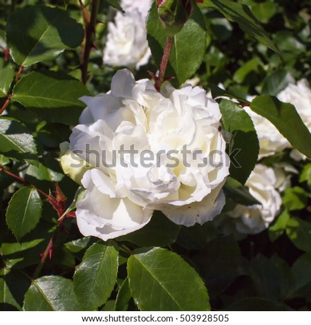 White camelia in close up, square image