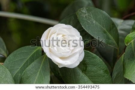 White Camellia - stock photo
