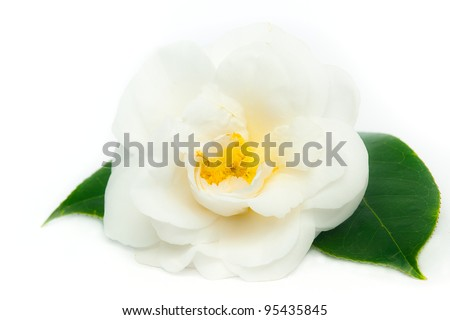 White Camellia Flower and Leaves Isolated on a White Background - stock photo