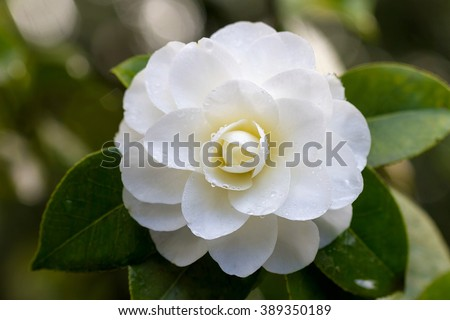 White Camellia Flower in Bloom with water droplets during Springtime Closeup Macro - stock photo