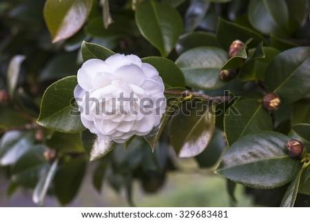White camellias - stock photo