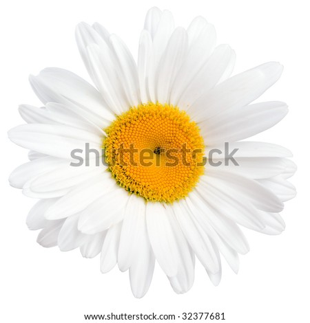 White camomile (chamomile) on white background isolated.
