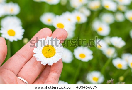 White Camomile in the woman hand  - stock photo