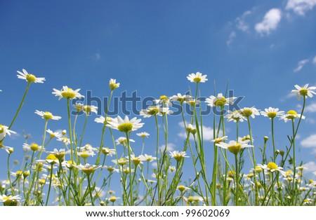 white camomile on blue sky - stock photo
