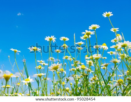 white camomile on blue sky background