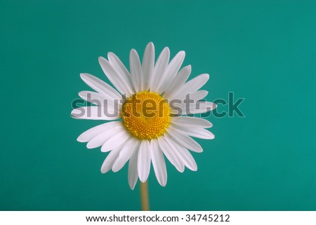 white camomile on green background - stock photo