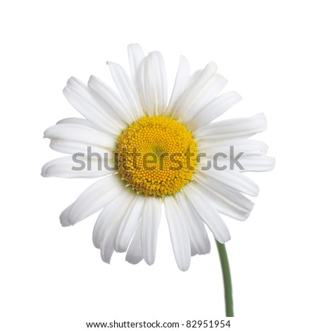 White camomiles isolated on a white background - stock photo