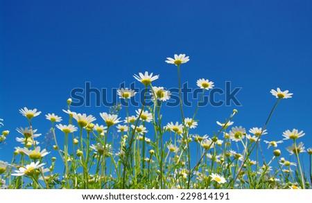 White camomiles on blue sky background  - stock photo