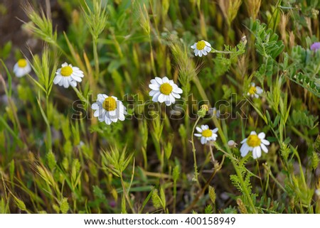 White camomiles on spring field - stock photo